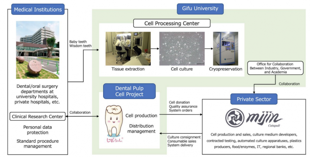 gifu university dental pulp cell research teeth